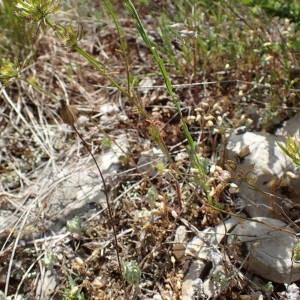 Photographie n°2309009 du taxon Linum strictum L.