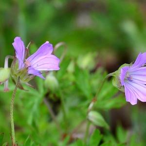 Photographie n°2309166 du taxon Geranium columbinum L.