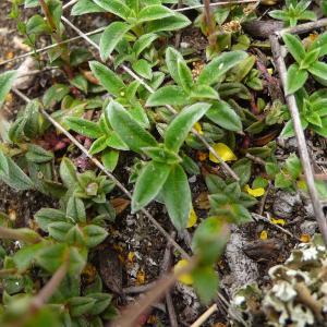 Photographie n°2309225 du taxon Helianthemum canum (L.) Baumg. [1816]