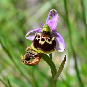 Photographie n°2309440 du taxon Ophrys fuciflora (F.W.Schmidt) Moench [1802]