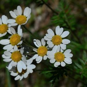 Photographie n°2309461 du taxon Tanacetum corymbosum (L.) Sch.Bip. [1844]