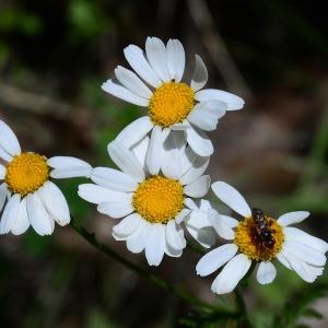 Photographie n°2309462 du taxon Tanacetum corymbosum (L.) Sch.Bip. [1844]