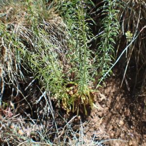 Photographie n°2309924 du taxon Anarrhinum bellidifolium (L.) Willd.