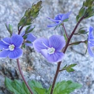 Photographie n°2309946 du taxon Veronica chamaedrys L. [1753]