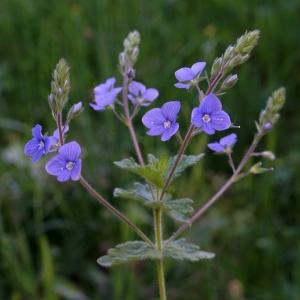 Photographie n°2309949 du taxon Veronica chamaedrys L. [1753]