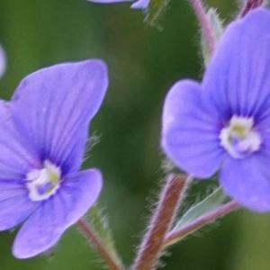 Photographie n°2309950 du taxon Veronica chamaedrys L. [1753]