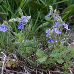 Photographie n°2309951 du taxon Veronica chamaedrys L. [1753]