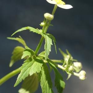 Photographie n°2309961 du taxon Ranunculus aconitifolius L. [1753]