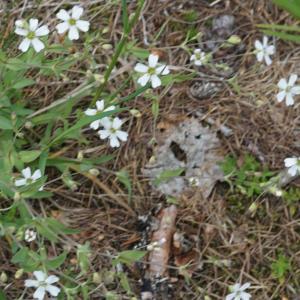 Photographie n°2310055 du taxon Silene rupestris L.