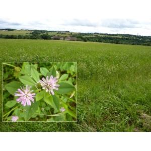 Trifolium resupinatum var. majus Boiss. [1872] (Trèfle odorant)