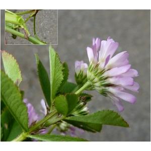 Trifolium resupinatum var. majus Boiss. (Trèfle odorant)