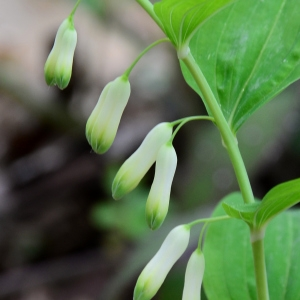 Photographie n°2310186 du taxon Polygonatum multiflorum (L.) All. [1785]