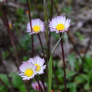 Photographie n°2310206 du taxon Bellis perennis L.
