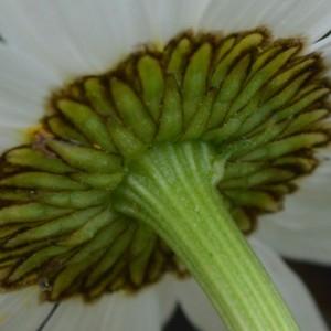 Photographie n°2310305 du taxon Leucanthemum vulgare Lam. [1779]