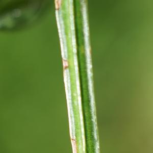 Photographie n°2310516 du taxon Cytisus scoparius (L.) Link [1822]