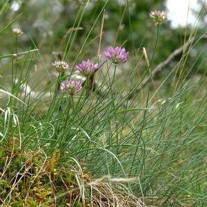 Photographie n°2310577 du taxon Allium schoenoprasum L.