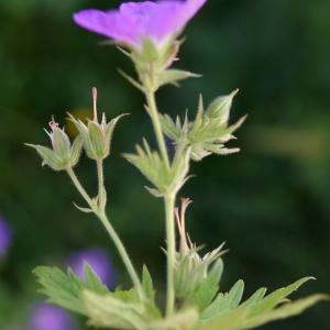 Photographie n°2310599 du taxon Geranium sylvaticum L. [1753]