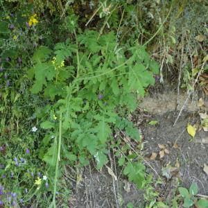 - Brassica L.