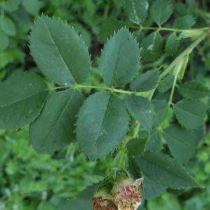 Photographie n°2310681 du taxon Rosa canina L. [1753]