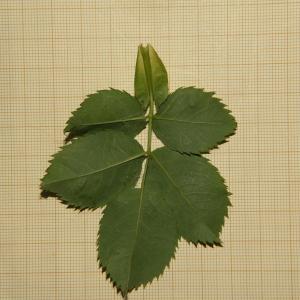 Photographie n°2310683 du taxon Rosa canina L. [1753]