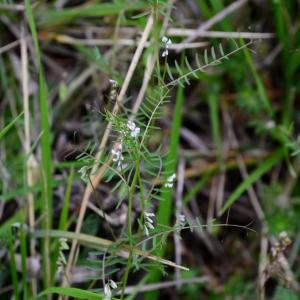 Photographie n°2310832 du taxon Ervilia hirsuta (L.) Opiz [1852]