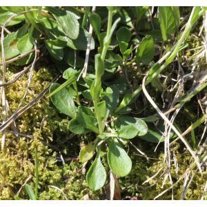 Noccaea alpestris subsp. sylvium (Gaudin) Kerguélen (Tabouret du mont Cervin)