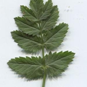 Photographie n°2310924 du taxon Pimpinella major (L.) Huds. [1762]