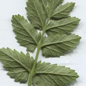 Photographie n°2310925 du taxon Pimpinella major (L.) Huds. [1762]