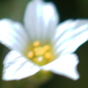 Photographie n°2310945 du taxon Linum catharticum L. [1753]