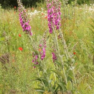 Photographie n°2310994 du taxon Digitalis purpurea L.
