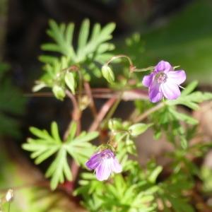 Photographie n°2311028 du taxon Geranium columbinum L.