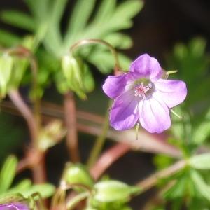 Photographie n°2311029 du taxon Geranium columbinum L.