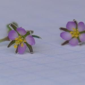 Photographie n°2311050 du taxon Spergula rubra (L.) D.Dietr. [1840]