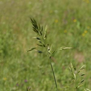 Photographie n°2311057 du taxon Bromus hordeaceus L. [1753]