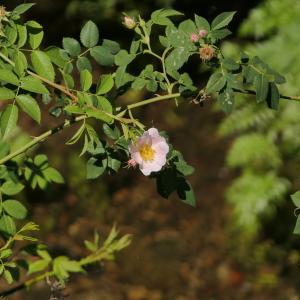 Photographie n°2311062 du taxon Rosa L. [1753]
