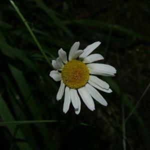 Photographie n°2311135 du taxon Chrysanthemum ircutianum Böcher & Larsen