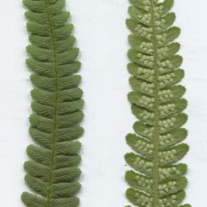 Photographie n°2311221 du taxon Dryopteris filix-mas (L.) Schott [1834]