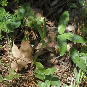 Photographie n°2311262 du taxon Trifolium alpestre L. [1763]