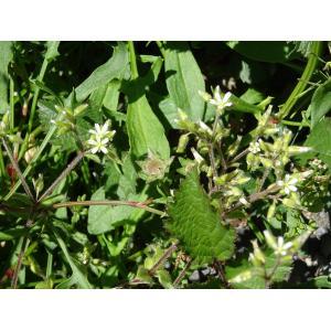 Cerastium glutinosum Fr. (Céraiste pâle)