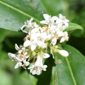 Photographie n°2311502 du taxon Ligustrum vulgare L. [1753]