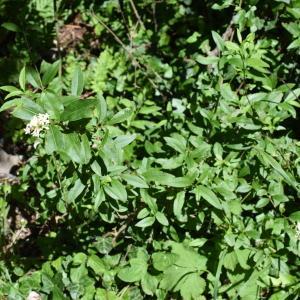Photographie n°2311506 du taxon Ligustrum vulgare L. [1753]