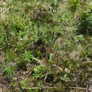 Photographie n°2311540 du taxon Pulsatilla alpina subsp. apiifolia (Scop.) Nyman [1878]