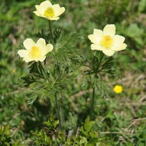 Photographie n°2311543 du taxon Pulsatilla alpina subsp. apiifolia (Scop.) Nyman [1878]