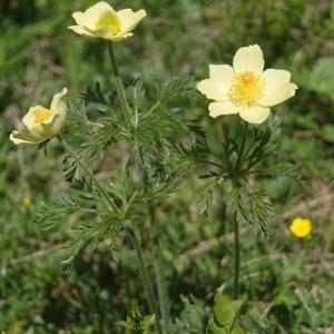 Photographie n°2311544 du taxon Pulsatilla alpina subsp. apiifolia (Scop.) Nyman [1878]