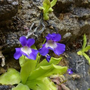 Photographie n°2311926 du taxon Pinguicula longifolia Ramond ex DC.