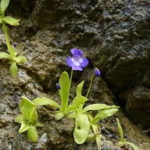 Photographie n°2311928 du taxon Pinguicula longifolia Ramond ex DC.