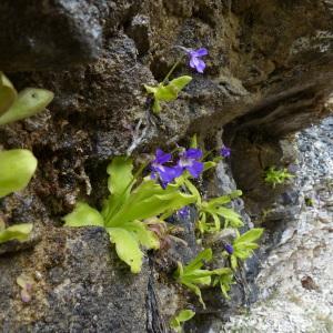 Photographie n°2311930 du taxon Pinguicula longifolia Ramond ex DC.