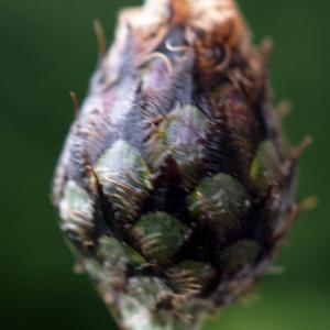 Centaurea scabiosa L. subsp. scabiosa (Centaurée scabieuse)