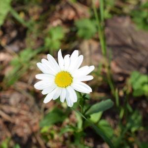 Photographie n°2312025 du taxon Leucanthemum vulgare Lam. [1779]