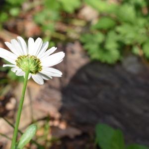 Photographie n°2312026 du taxon Leucanthemum vulgare Lam. [1779]